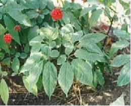 多年生草本植物,西洋参的根部和茎叶可作.